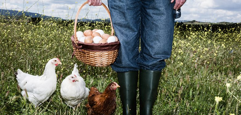 Farmer in field with free range chicken and basket full of eggs; eingekauft am 20.10.2016 für ST-IFT in einer Standard-Lizenz + Mehrplatzlizenz